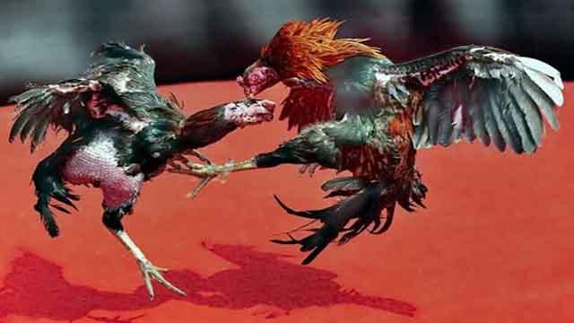 Situs S128 Sabung Ayam Bangkok