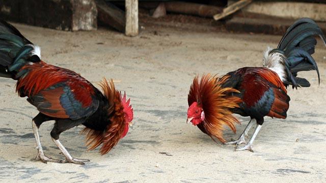 Bandar Sabung Ayam Online S128 Terpercaya